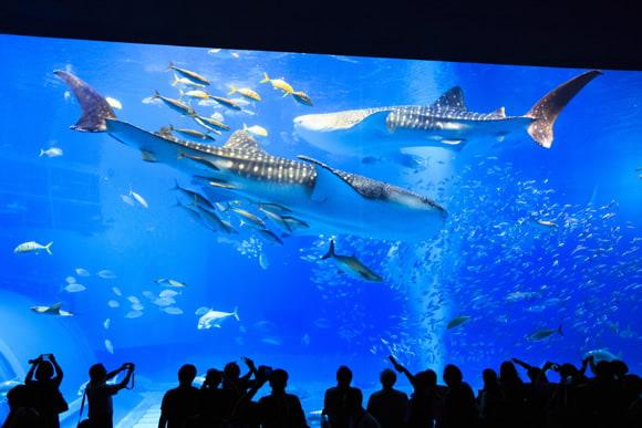 画像は「沖縄美ら海水族館」より引用